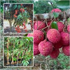 "Lychee Tree plant grafted ""Jakaphat"" Tall 18"" Litchi liche Fruit Juicy From Thai"