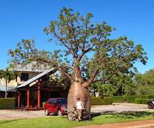 Australian Bottle  Baobab (Adansonia gregorii )10 seeds
