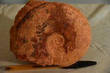 ammonite Leioceras opalinum aalénien ombilic présent 130 mm