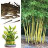 Bambusa Nutans Bambus Samen. Auswahl Von Menge
