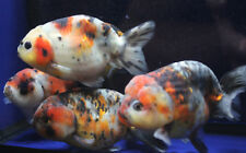 Live Calico Ranchu Med. Goldfish for fish tank, koi pond or aquarium