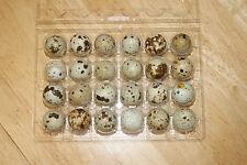 Coturnix quail hatching eggs 2 dozen