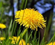 Wildflower Seeds - DANDELION - Tortoise Food - 1500 SEEDS - Taraxacum officinale