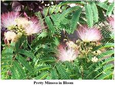 Wild Mimosa Sweet Smelling   Pink n' White Colored Flowering Tree    25  Seeds