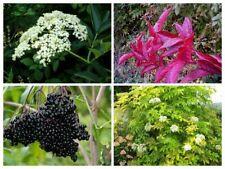 20 Elderberry Shrub Seeds Mixed Sambucus Delicious Rare Edible Fruit Tree Bonsai