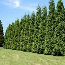 Green Giant Arborvitae Thuja Starter Plant Hedge Fast Growing 11'