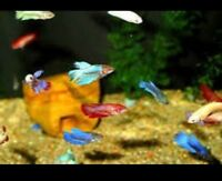 Live Assorted Female Betta Fish (Japanese Fish) Buy 2 Get 1 Free! Fast S&H