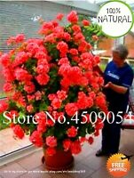 Bonsai Climbing Geranium Seeds Plants Pelargonium Peltatum Tree 100pcs