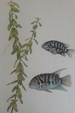 New listing Vintage Antique Aquarium Live Life Art Print Beautiful Convict Cichlid Fish