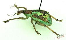 Rüsselkäfer Käfer Rhinoscapha Dohrni Set x1 A1 Indonesien Insekt #j02