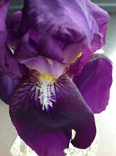*** HISTORIC PURPLE 500g bag full *** TALL BEARDED IRIS