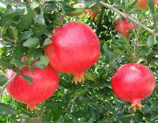 """Angel red""sweet pomegranate 10 Seeds - Liveseeds"