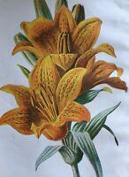ANTIQUE PRINT C1900 ORANGE LILY GARDEN FLOWERS BOTANY BOTANICAL PLANTS ART