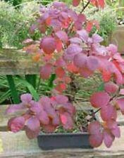 10 Semillas Cotinus Coggygria (Arbol Rosa o de Las Pelucas) Código 805