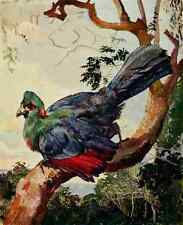 A4 Foto Johnston Sir Harry 1902 turaco de Ruwenzori impreso Poster