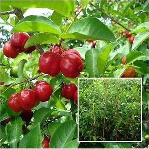 "Barbados Acerola Cherry Tree Tall 18"" Malpighia emarginata Fruit Plant For Grow"