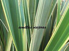 Formio lino de Nueva Zelanda, Phormium tenax variegata 60 semillas seeds graines