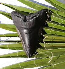 Haifisch Zahn Fossil 237 g Hai 12,5 x 8,9 cm Megalodon HZ870 teeth tooth Haizahn