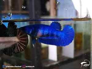 Top Grade Live Betta Fish l Female HMPK Blue Metallic (3.5months) From Thailand