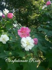 Double Confederate Rose Seed - Heirloom Perennial Hibiscus Seeds 25 Seeds