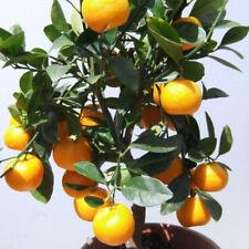 Samen Saatgut exotische Zimmer-Pflanzen Terrasse Balkon Orangenbäumchen!