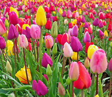 TULIPS Tulip bulb mix Mixed colours x 100 Spring Flowering Bulbs