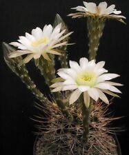 Cactus Echinopsis melanopotamica 5 seeds  Hardy to 14°F easy grow CombSH C109