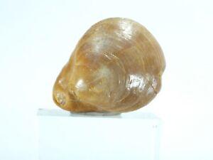 Brachiopod Epacrosina fulva Dartmoor Victoria Australia (EA3676) fossil shell