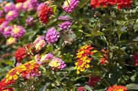 Wie von Zauberhand wandeln sich die Blüten von gelb nach rot beim Wandelröschen.