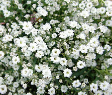 CREEPING BABY'S BREATH Gypsophila Repens - 5,000 Bulk Seeds