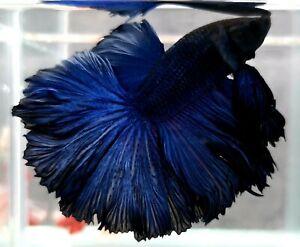 Luxury!! (Limitid) Premium Live Betta Fish : Male : Rose Tail Intense Blue
