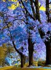 Royal Empress Tree! (FOXGLOVE TREE, PRINCESS TREE)GROWS 15 FT A YEAR! 50 SEEDS!