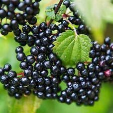 Elderberry Seeds 50 Sambucus Canadensis American Native Plant Fresh Dried Berry