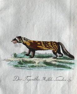 SARMATIAN WEASEL  Bechstein Original Natural History Antique  Print 1796