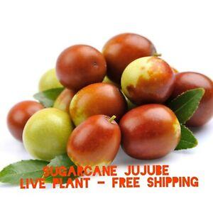 Sugarcane Jujube chinese Date Ziziphus jujuba live plant & seeds fast grow bulk