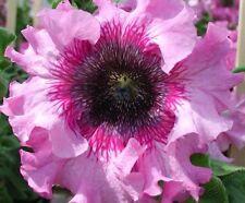 Petunia hybrida superbissima Rosary F1 Flower Seeds from Ukraine