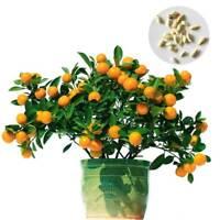 30 Graines De Mandarine - 30 Seeds Mandarin Citrus Jardin Potager RARE