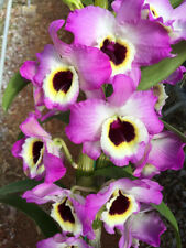 "Nobile Dendrobium Red Senator 'Maxim' in 2""Pot ~Blooms Next year~"