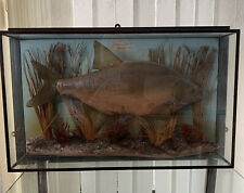 More details for vintage bream in glass display case 70 cm x 15 cm x 45 cm's in good condition