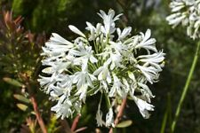 Agapanthus umbellatus albus (African Lily) -10 seeds. Lovely as a patio plant.