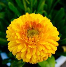 Pot Marigold Seeds 50 Seeds Calendula Officinalis Flower Garden Seeds Hot A111