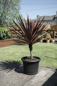 Cordyline Australis Red Star Palm Garden Outdoor Evergreen, Plant in 9cm Pot