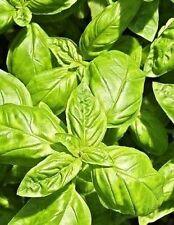500 Clove Basil Ocimum Basilicum Herb Flower Seeds Gift