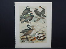 "Birds, Jacob H. Studer, 1903, One Large Old Print! 12"" x 15"" S2#40"