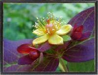 1000 Graines de fleurs Vivaces, MILLEPERTUIS ALBURY PURPLE