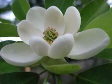 SWEETBAY MAGNOLIA, Laurel Magnolia, Swamp Magnolia - (Magnolia virginiana)