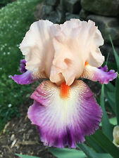 Tall Bearded Iris Come Away With Me Rose Apricot Plum Perennial Plant rhizome