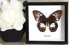 Butterfly collection for sale Framed real butterfly  PAPILIO AEGEUS BBPAEF