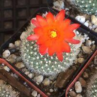 Pretty flowering Parodia cactus cacti succulent live plant