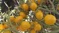 Mirabell Tomate Tomaten Samen neue Ernte 2020  bio Anbau Nr.231